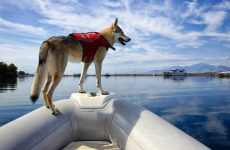 Curious young Czechoslovakian wolfdog with lifejacket stands on the bow of a motor boat.